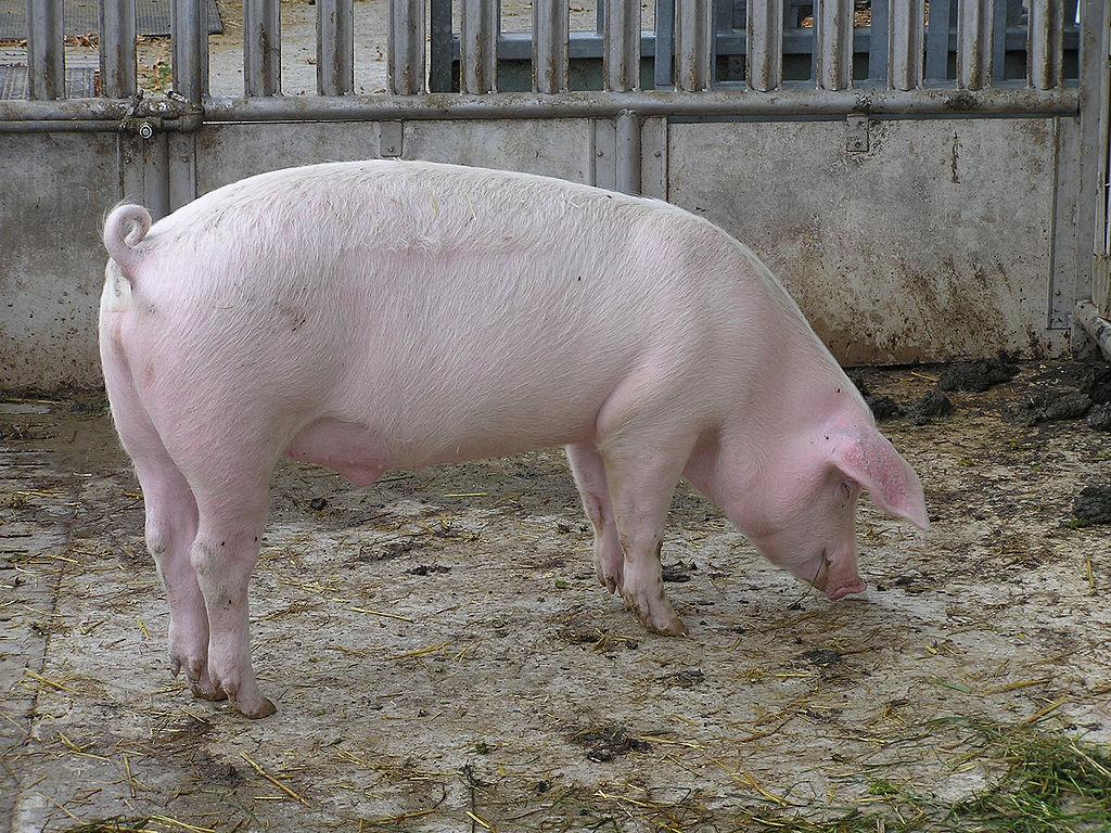 Auf dem Bild ist ein Schwein zu sehen. Genauer: Ein Haus·schwein.