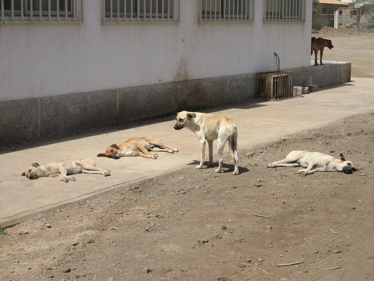 Auf dem Bild sind Paria·hunde zu sehen