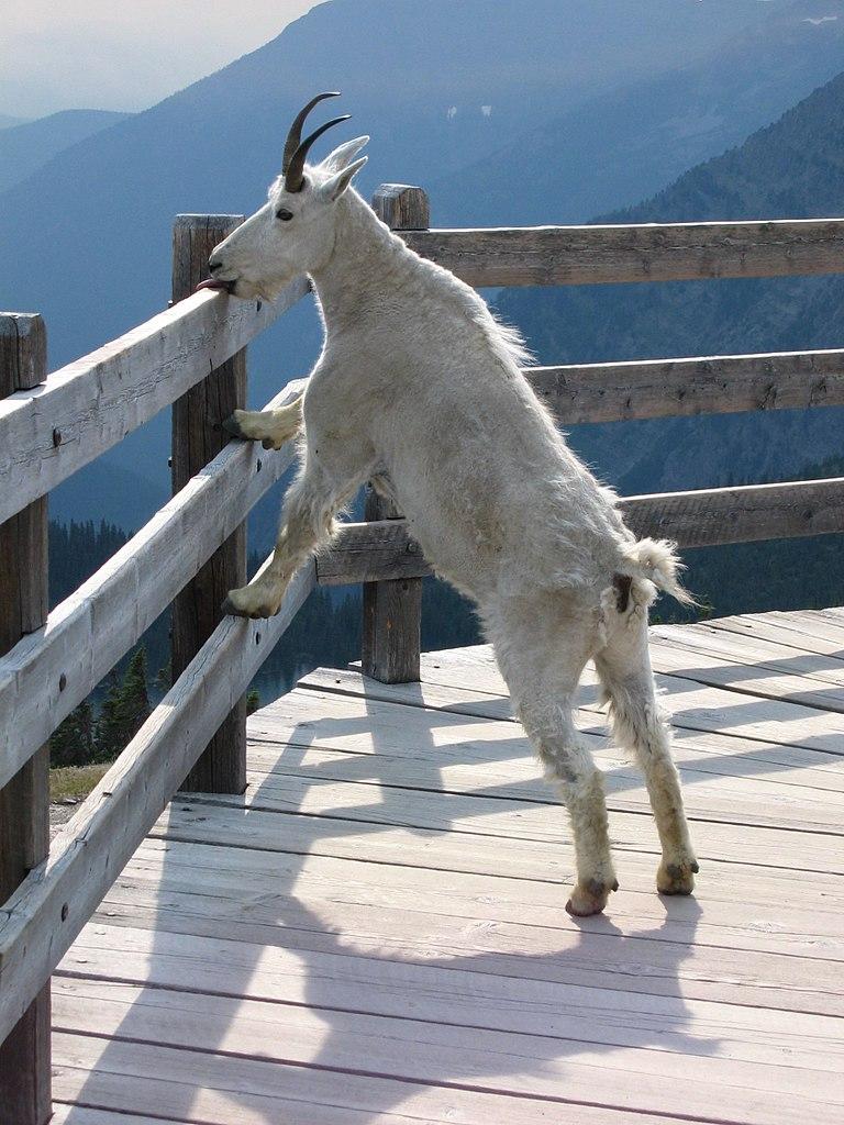Auf dem Bild ist eine Ziege zu sehen. Sie steht und schleckt an einem Hand·lauf aus Holz.